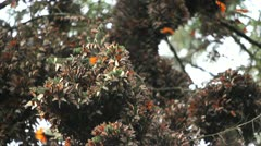 Thousands of Mariposas - stock footage