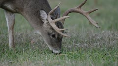 Whitetail deer buck grazing Stock Footage