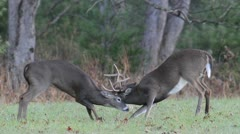 Two whitetail deer bucks fighting in an open field - stock footage