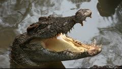 Crocodile_LDA N 00378 Stock Footage