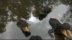 Crocodiles_LDA N 00379 Stock Footage