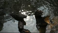 Crocodiles_LDA N 00380 Stock Footage