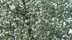 Blossoming apple-tree. Stock Footage