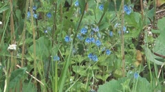 Forget-me-not flowers. Stock Footage