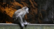 Stock Video Footage of Macaque monkey in Batu hindu cave in Malaysia