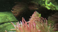 Sea Anemone Underwater 2 HD Stock Footage
