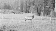 Stock Video Footage of Elk In The Wilderness (Archival 1940s)
