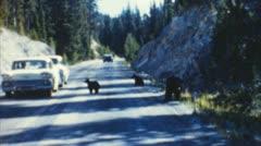 Bears in traffic (archival 1950s) Stock Footage