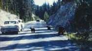 Bears in traffic (archival 1950s) Stock Footage