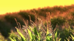 Corn field stalks at sunset Stock Footage
