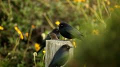 Brewer's blackbirds in the garden Stock Footage