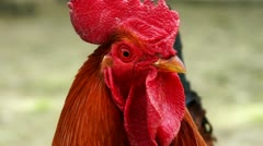 Farm Red Cock close up Stock Footage