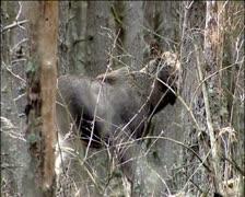 Elk Stock Footage