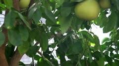 Pomelo tree Stock Footage