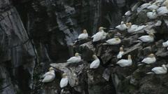 Thousands of Gannets at Nesting Colony, St. Mary's -Newfoundland Stock Footage