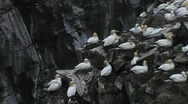Stock Video Footage of Thousands of Gannets at Nesting Colony, St. Mary's -Newfoundland