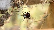 Stock Video Footage of Black Widow Spinning Web