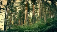 Pine Forest 2 Stock Footage