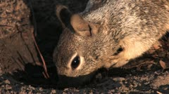 Hungry squirrel eating hd Stock Footage