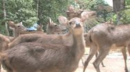 Stock Video Footage of Javan Rusa Deer