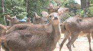 Javan Rusa Deer Stock Footage