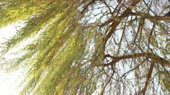 Willow tree treetop_1 Stock Footage