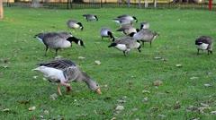 Geese feeding on grass Stock Footage