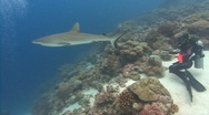Stock Video Footage of SCUBA Diver and Shark