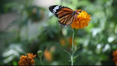 Butterfly_LDA P 00483 Stock Footage