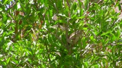 wild sparrow - stock footage