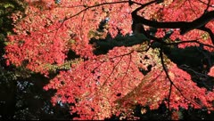 Japanese maple in Tokyo Stock Footage
