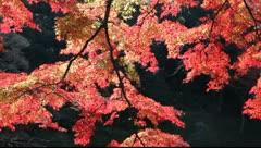 Reflection on Japanese maple Stock Footage
