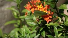 Butterfly on orange flower Stock Footage