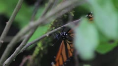 Monarca Butterfly close up Stock Footage