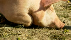Pig in his barn Stock Footage