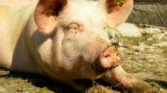 Pig lying in mud and resting in his barn Stock Footage