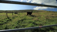Llama on an Irish Farm GFHD - stock footage