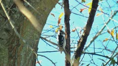 Hairy woodpecker in the wild Stock Footage