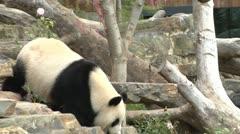 Giant Panda at Zoo - stock footage