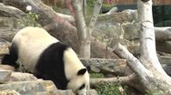 Giant Panda at Zoo Stock Footage