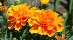Orange marigold in garden Stock Footage