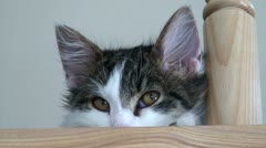 Norwegian forest cat watching 4 Stock Footage