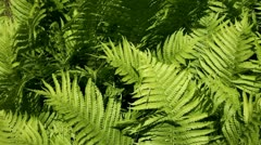 Stock Video Footage of fern
