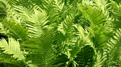 fern - stock footage