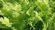 Fern Stock Footage