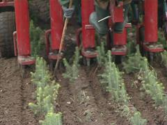Tractor blanch fir seedlings. Worker supervision. Stock Footage