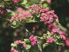 Blooming branches of  fruit tree. Large round red blooms. Stock Footage