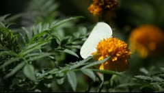 White butterfly takes off Stock Footage