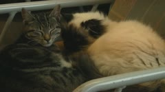 Two Cats of Different Breeds Cuddling on Chair Stock Footage