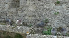 Many pigeons playing Stock Footage